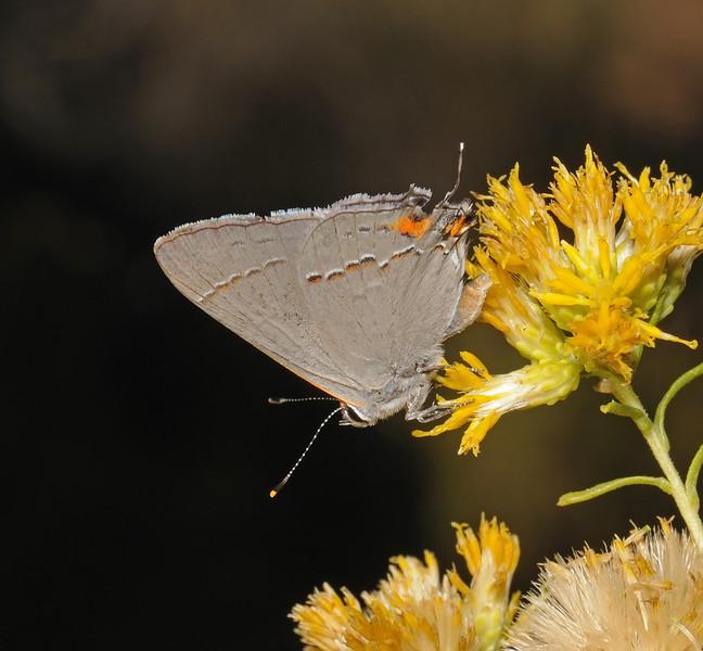 Gray Hairstreak - Strymon melinus, October