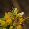 Agapostemon sp, October