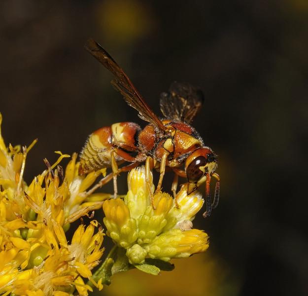 Euodynerus pratensis, October