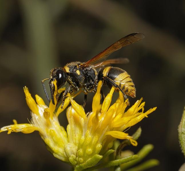 Pachodynerus guadulpensis, October