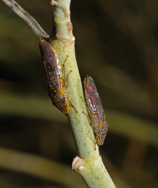 Homalodisca sp, October