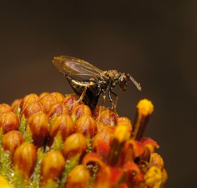 Chalcid wasp, March