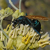Tarantula Hawk - Pepsis sp, November