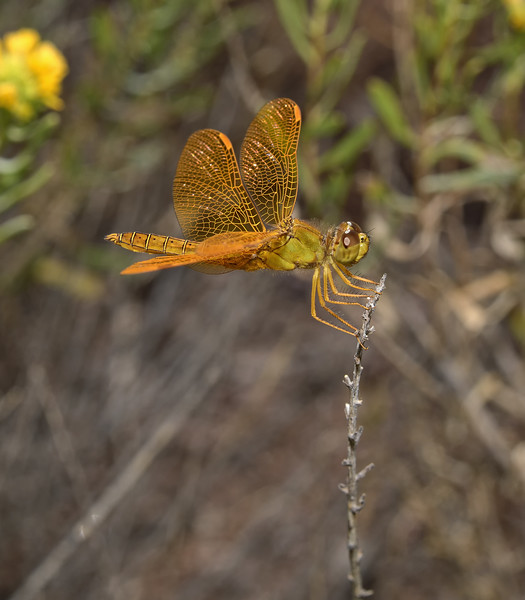 Mexican Amberwing - Perithemis intensa male, October