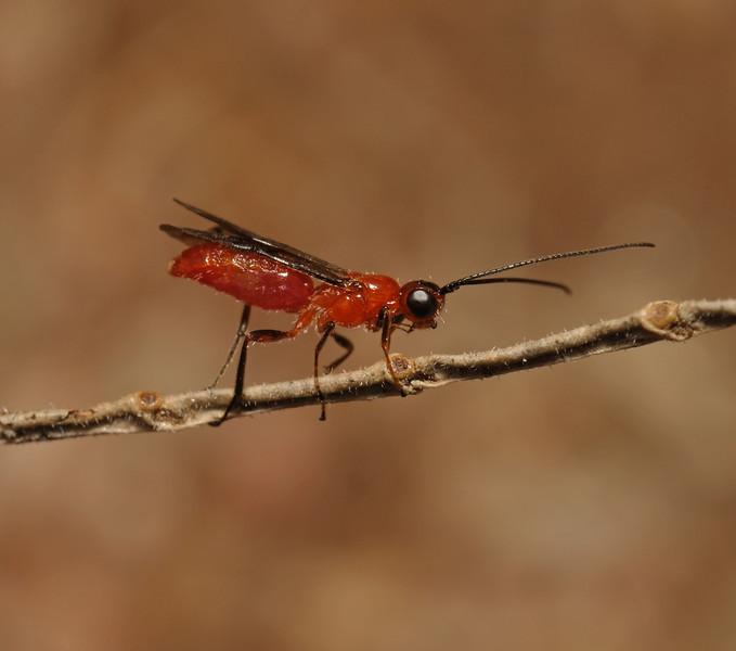 Braconid wasp, March