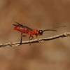 Braconid wasp, March