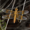 Mexican Amberwing - Perithemis intensa female, October