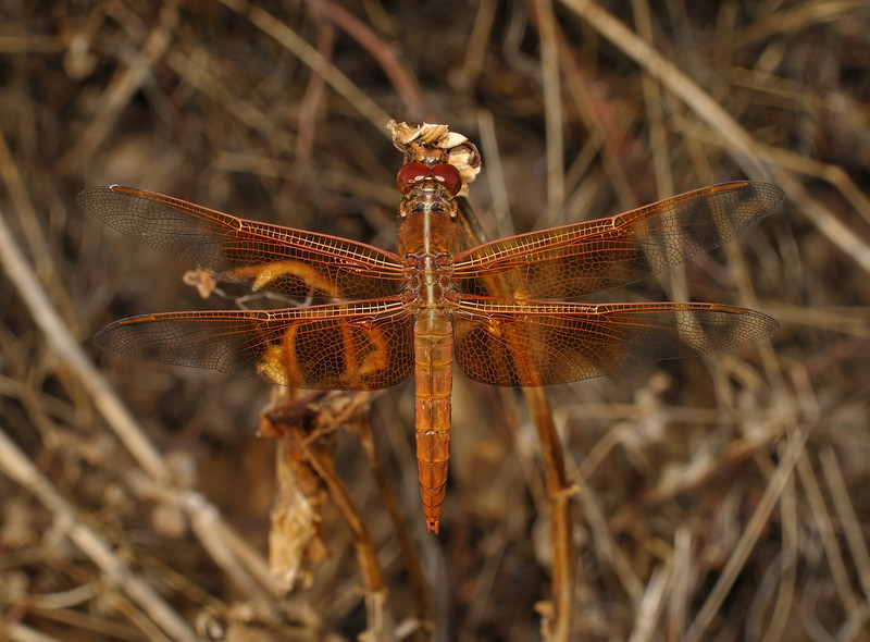 Flame Skimmer - Libellula saturata immature male, October