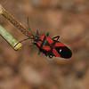 Oncopeltus sanguineolentus, March