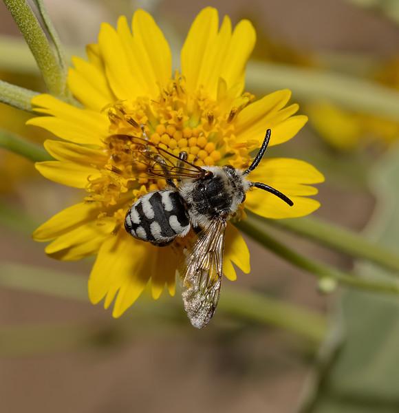 Xeromelecta californica male, November