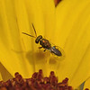 Chalcid wasp, March