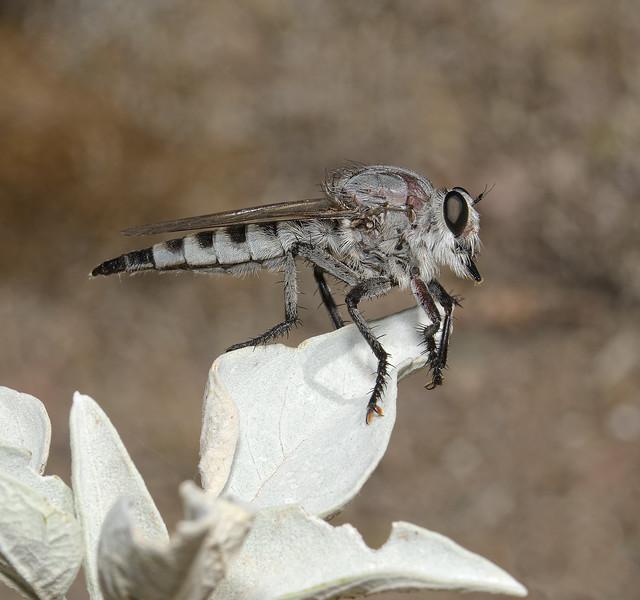 Promachus albifacies, October