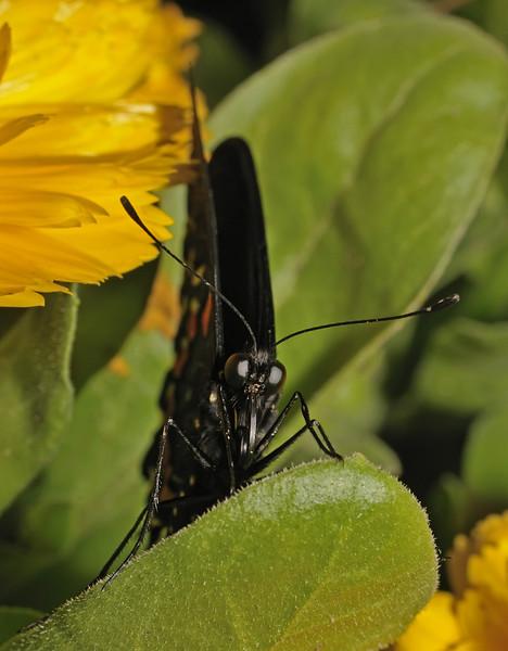 Pipevine Swallowtail - Battus philenor, March