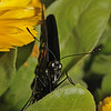 Pipevine Swallowtail - Battus philenor, March