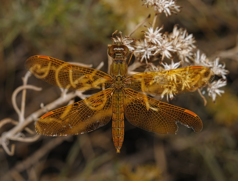 Mexican Amberwing - Perithemis intensa male, November