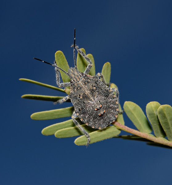 Brochymena sp nymph, November