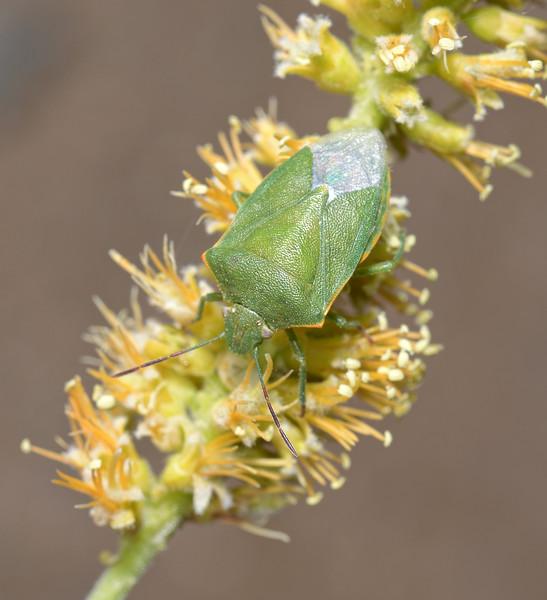 Thyanta sp, April