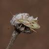 Harmostes angustatus, March