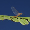Mayfly, October
