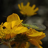Chrysoperla sp, March