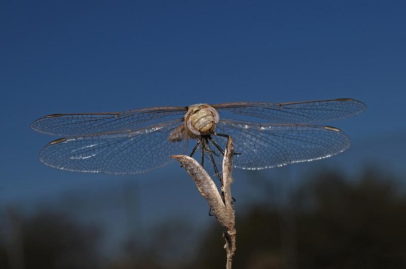 Variegated Meadowhawk - Sympetrum corruptum, October