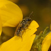 Lasioglossum sp, March
