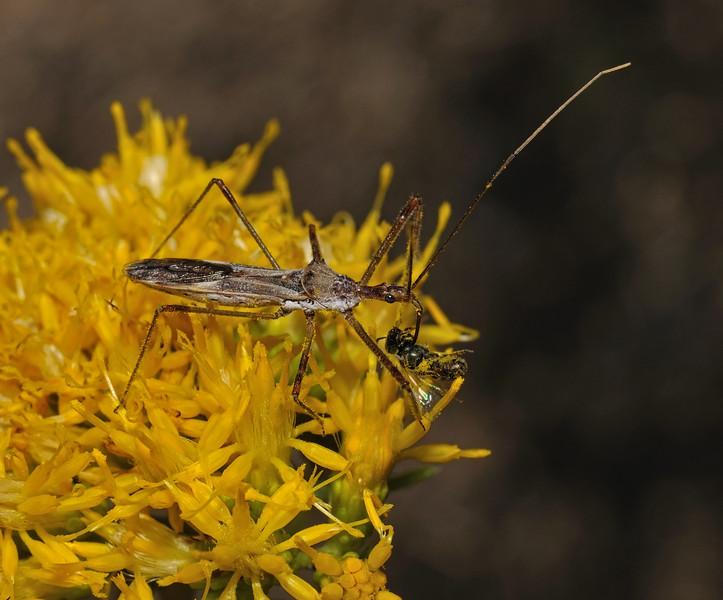 Zelus tetracanthus with prey, October