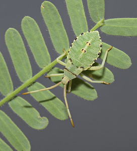 Mozena arizonensis nymph, April