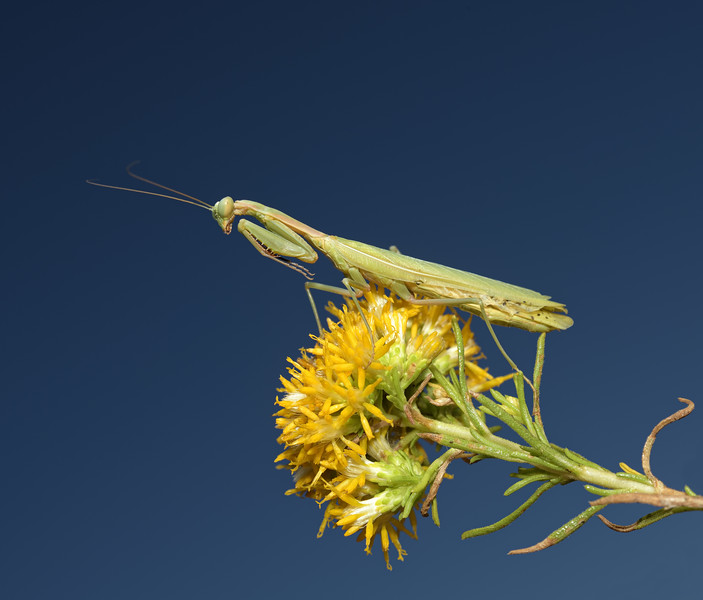 Iris oratoria male, October