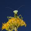 Iris oratoria female, October