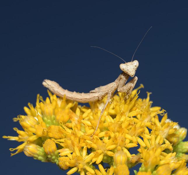 Litaneutria sp, October