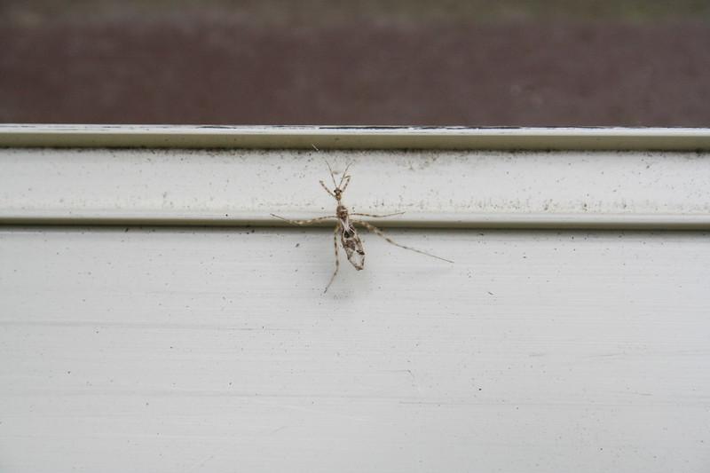 Stenolemus Assassin Bug