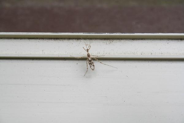Stenolemus Assassin Bugs