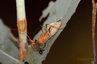 Common Assassin Bug