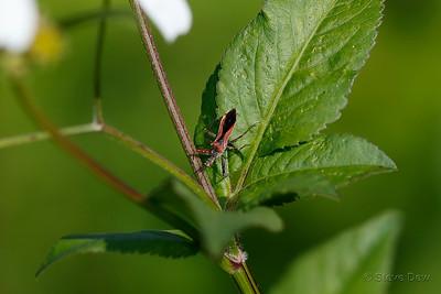 Red Spiny Assassin Bug