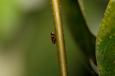 Red and Black Froghopper
