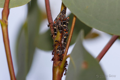 Two-lined Gum-tree Hoppers