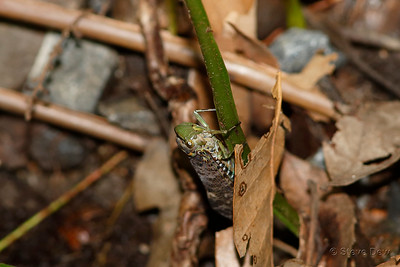 Green-faced Gum Hopper