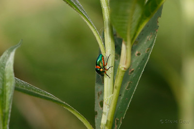 Green Jewel Bug