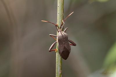 Eucalyptus Tip-wilter
