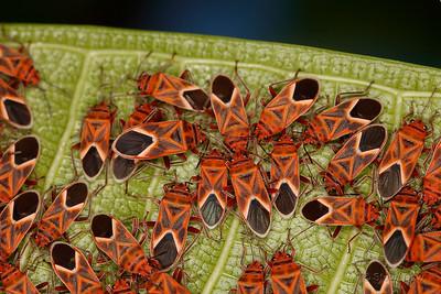 Seed-eating Bug Swarm