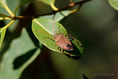 Gumtree Shield Bug