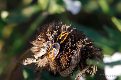 Horehound Bug