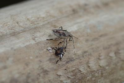Brown Long-headed Shield Bug