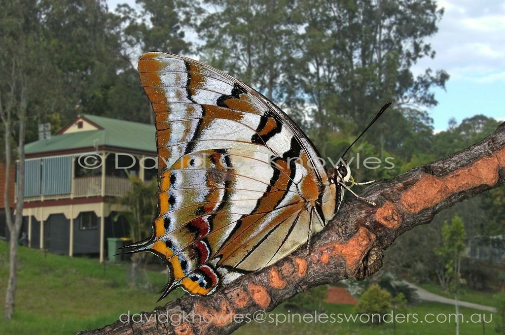 Tailed Emperors are arguably Australia's most powerful fliers, often flashing through Queensland gardens in seconds. Seemingly to celebrate their mastery of the skies males tend to use higher perches, like sun-dappled trunks, than most butterflies (3 metres or higher) where they face downwards alternately twitching their hindwings in anticipation of a fine female passerby, or to give chase to an invading male. Charaxes sempronius extends from the Molucca and Lesser Sunda Islands of eastern Indonesia to New Guinea and northern and eastern Australia