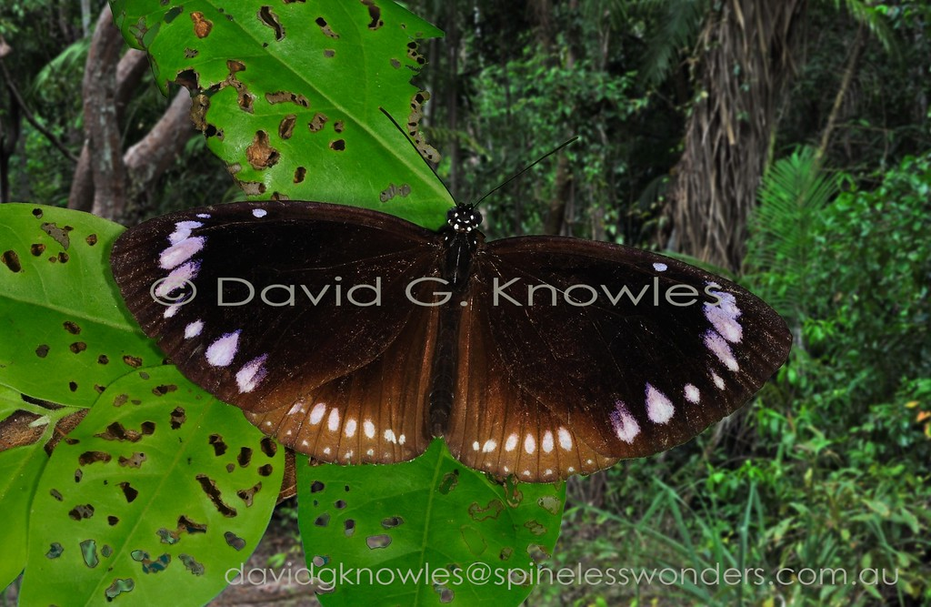 Darwin Brown Crows may be locally common in coastal monsoon vine thickets penetrating inland via gallery forest lining waterways. The subspecies Euploea darchia niveata with a broad white hindwing margin occurs in Queensland. Other subspecies are named from various Islands in the Banda sea south east of New Guinea though many of these populations, described in the late 1800's and early 1900's, need to be reviewed using modern techniques