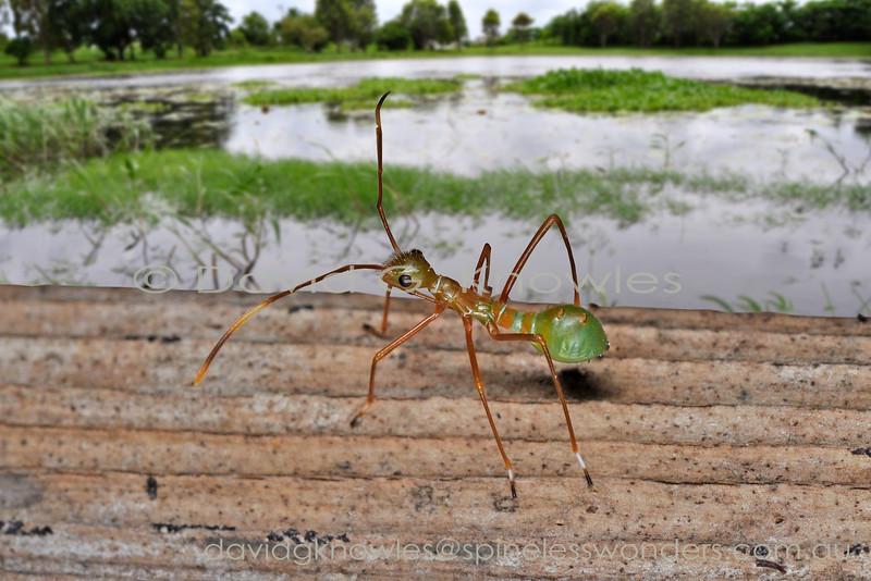 Australian Rainforest Hemiptera Alydidae (Broad-headed Bugs
