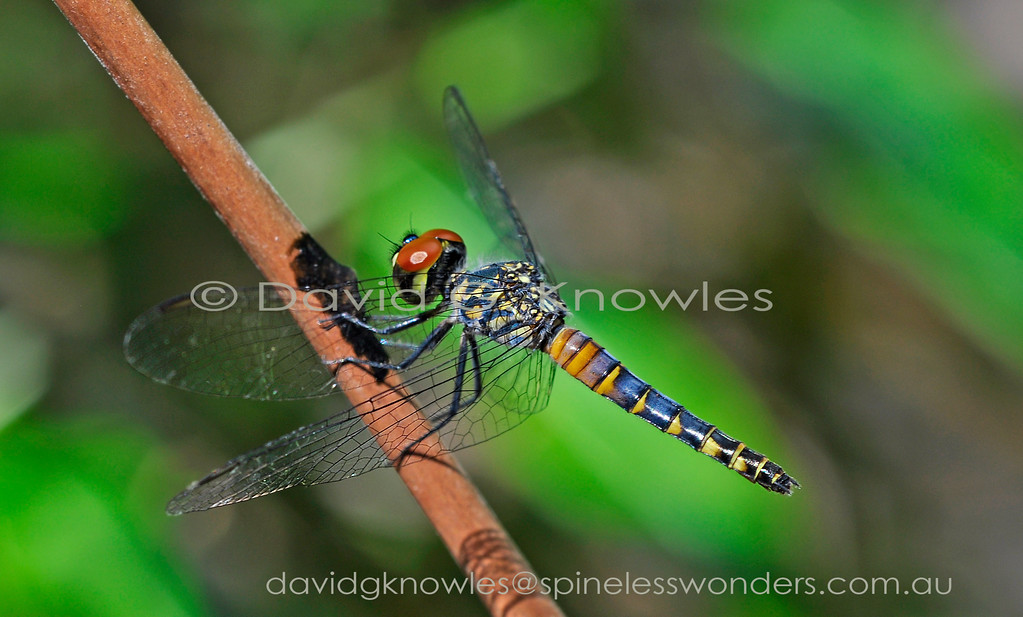 Female Palemouth Short-tail Dragonflies like males spend time waiting for prey to come to them rather than employing the incessant patrolling strategies of other species. Brachydiplax denticauda occurs in Australia, Indonesia, Papua New Guinea and the Solomon Islands
