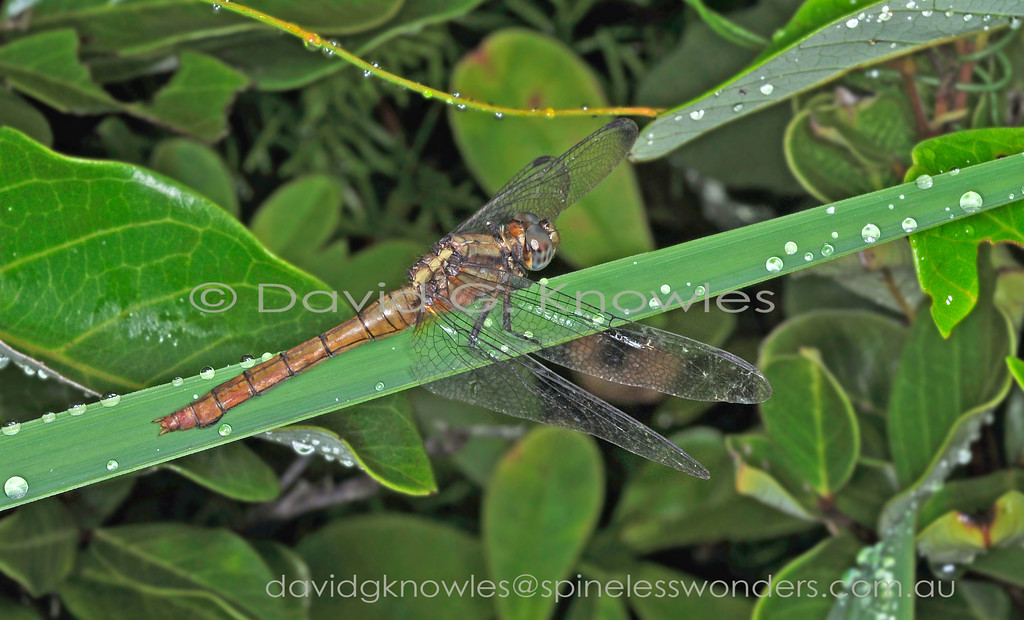 This female Fiery Skimmer Dragonfly has emerged from the swamp below and extracted itself from the larval exoskeleton and by dawn starts to dry the new exoskeleton in the early morning sun undetected by predators.The Skimmer extends from eastern Indonesia, New Guinea and surrounding islands to northern and eastern Australia