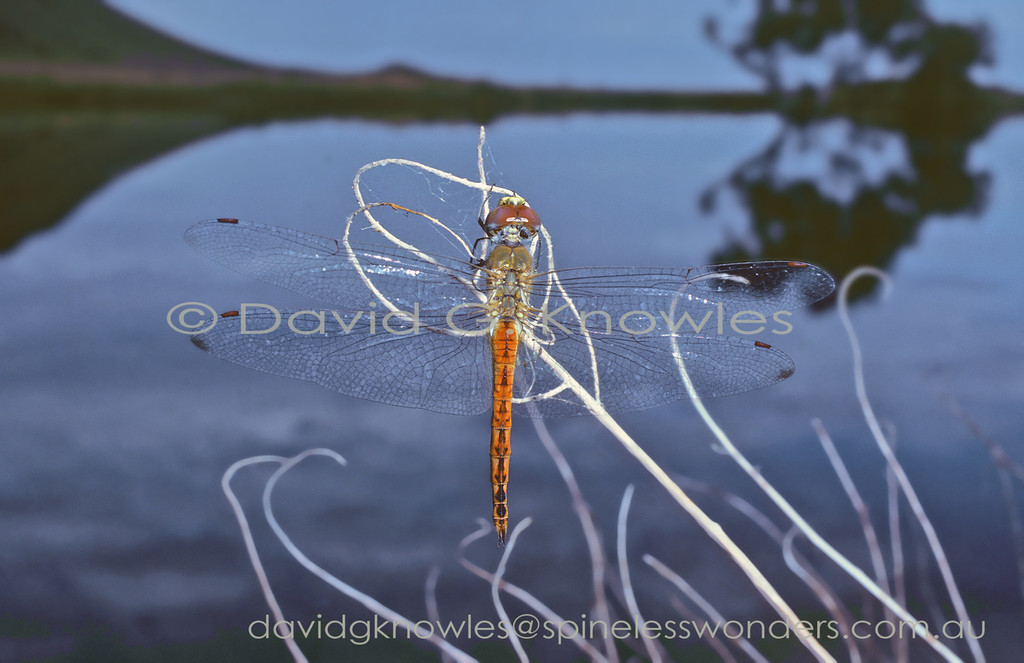 Pantala flavescens is the most widespread dragonfly and insect, occurring all continents except Antarctica - one of the original trade-wind sailers!
